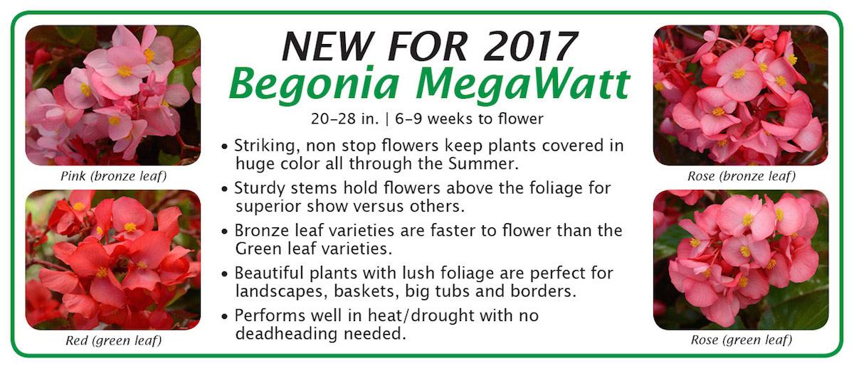 New for 2017 Begonia MegaWatt