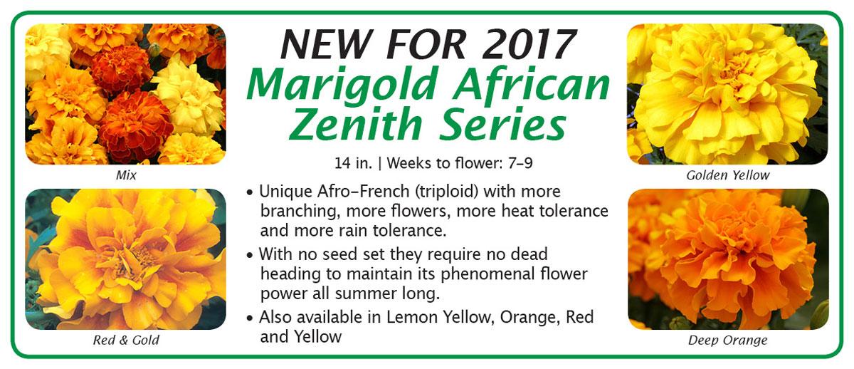 Marigold African Zenith
