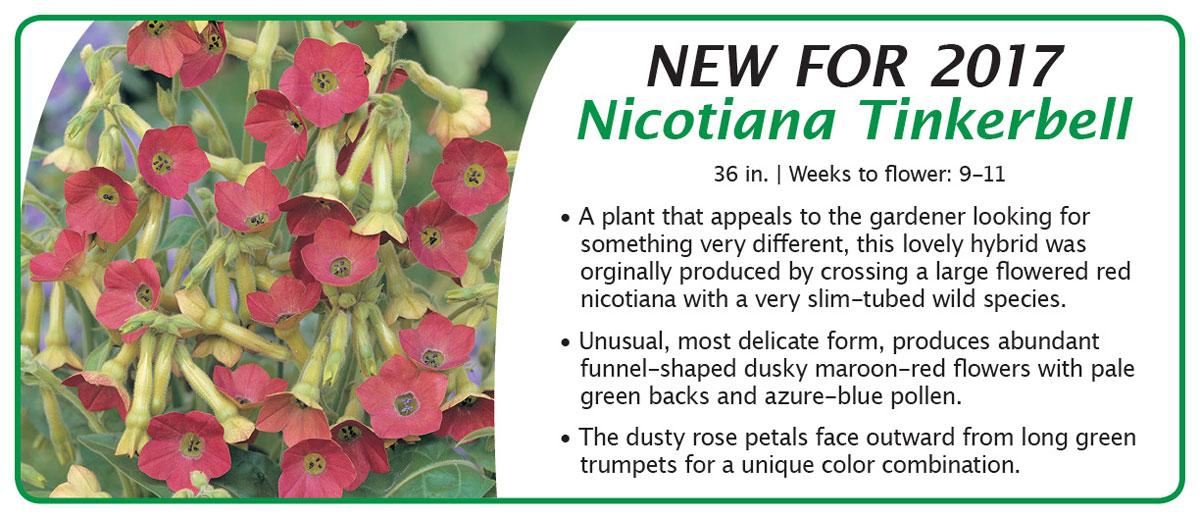 Nicotiana Tinkerbell